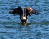 Eagle Raising Out Of Water With Mallard