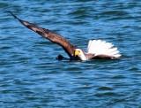 Eagle With Mallard