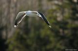 Tidal Falls Gulls