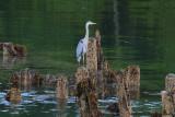Tidal Falls Herons