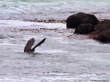 Eagle Catches Gull