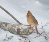 Female Cardinal During Snow Storm