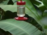 feeder Cerulean Warbler Reserve / RNA Reinita Cielo Azul - Green-crowned Brilliant I think