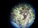 Crap shot of Chestnut-bellied Hummingbird