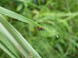 Random insect at Cerulean Warbler Reserve / RNA Reinita Cielo Azul