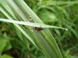 Random insect 2 at Cerulean Warbler Reserve / RNA Reinita Cielo Azul