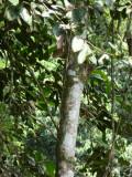 Helmeted Curassow Reserve / RNA Pauxi Pauxi