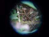 Fem Bare-crowned Antbird
