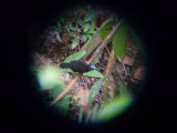 Male Bare-crowned Antbird, Blue-billed Curassow Reserve / RNA El Paujil