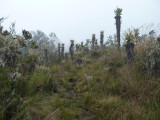 Alien landscape of Paramo, Dusky Starfrontlet Reserve/ RNA Colibri del Sol