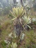 Alien plantlife of Paramo, Dusky Starfrontlet Reserve/ RNA Colibri del Sol