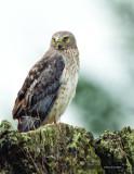 Nothern Harrier, Male