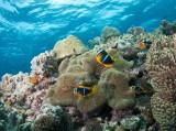 Anemonefish and Anemonne