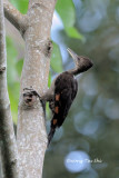(Reinwardtipicus validus xanthopygius)Orange-backed Woodpecker ♀