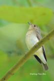 (Ficedula narcissina)  Narcissus Flycatcher ♀
