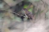 (Hierococcyx bocki) Dark Hawk-cuckoo