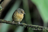 (Ficedula hyperythra) Snowy-browed Flycatcher ♀