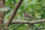 (Rhynomyias umbratilis) Grey-chested Jungle-flycatcher