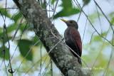 (Blythipicus rubiginosus) Maroon Woodpecker ♀