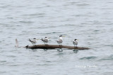 (Sterna bergii)   Greater Crested Tern