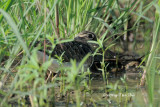 (Rostrayula benghalensis) Greater Painted Snipe ♂
