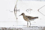 (Calidris acuminata) Sharp-tailed Sandpiper