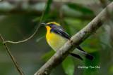 (Ficedula narcissina)  Narcissus Flycatcher ♂