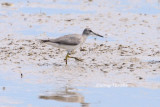 (Heteroscelis brevipes) Grey-tailed Tattler