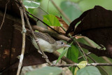 (Malacopteron cinereum) Scaly-crowned Babbler