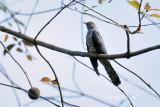 (Cuculus optatus) Oriental Cuckoo