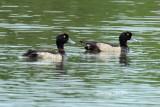 (Aythya fuligula) Tufted Duck ♂