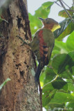 (Picus mentalis) Checker-throated Woodpecker