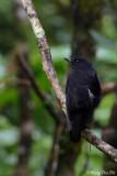 (Myophonus borneensis)  *Bornean Whistling Thrush