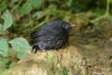 (Myophonus borneensis)  *Bornean Whistling Thrush Juvenile