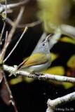 (Aethopyga temminckii)Temminck's Sunbird ♀