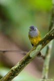 (Culicicapa ceylonensis) Gray-headed Canary Flycatcher