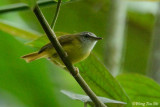 (Abroscopus superciliaris) Yellow-bellied Warbler