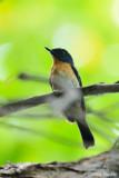 (Cyornis rufigastra) Mangrove Blue Flycatcher ♂