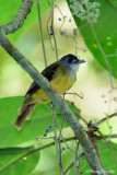 (Criniger phaeocephalus) Yellow-bellied Bulbul