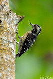 (Dendrocopos canicapillus)Grey-capped Woodpecker