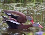 Black-bellied Whistling-Ducks3281.jpg