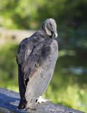 Black Vulture2797.jpg