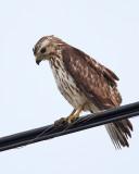 Broad-winged Hawk-juv.jpg
