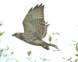 Broad-winged Hawk-8.jpg