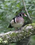 Wood Duck-3.jpg