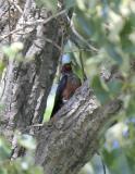 Lewis Woodpecker-1.jpg