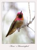 Anna`s Hummingbird