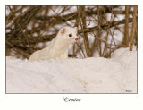 Short-tailed Weasel