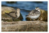 Semi-palmated Sandpiper and Sanderling