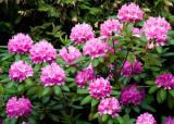 Rhododendron de Jo / Jo's Rhododendron